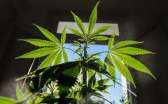Productos derivados del cannabis no serán psicoactivos