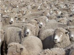 Operativo ovinos: CLU y FUCREA le dan más valor al rubro