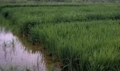 En el norte, las lluvias generan perjuicios en producción arrocera