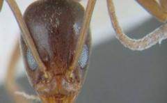 Las hormigas que socorren a sus semejantes heridas en batalla