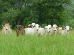 En Paraguay, el mercado de haciendas está firme