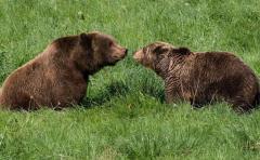 Científicos revelan cómo se comunican los osos entre ellos
