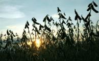 Soja: las lluvias generan una pausa en las tirillas