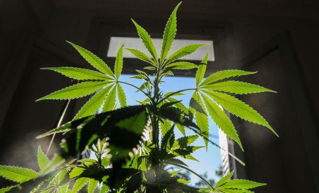 Experto pide abrir el mercado de cannabis a turistas