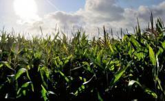 Cultivos genéticamente modificados volvieron a aumentar en 2016
