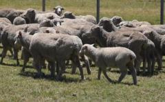Corderos aumentarían de 7 a 10 dól/cabeza con nuevas tecnologías