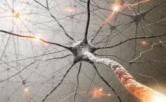 Descubren conexión entre neuronas y liberación de insulina del páncreas