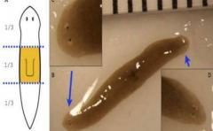 Experimento espacial generó gusanos mutantes de dos cabezas