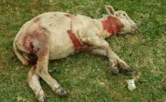 Productores rurales insisten en una solución a los ataques de perros