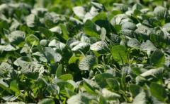 Producción de soja fue 56% mayor con respecto a campaña anterior, informó DIEA