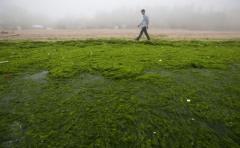 Crean fórmula para producir combustible a partir de algas