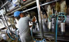 Lechería: este semestre la leche aumentó un 17% por litro que igual periodo de 2016