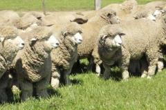 """El negocio ovino va por """"más carne y más lana�"""