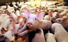 Científicos se acercan a la posibilidad de trasplantar órganos de cerdos a humanos