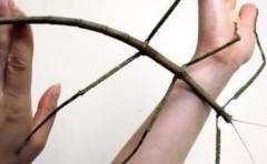 Crían en China el insecto más grande del mundo que mide 64 cm de largo