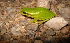 Experto dice que en 10 años se descubrió casi 20% de fauna anfibia de Uruguay