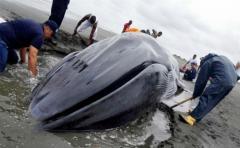 Las poblaciones de algunas ballenas no se habrán recuperado en 2100