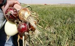 Escolares chilenos transformaron cebollas orgánicas en cosméticos