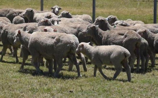 Pariciones de ovinos: Recomendaciones de SUL ante baja en temperatura
