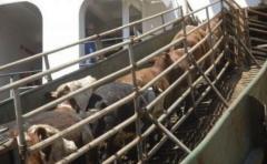 FR: exportación en pie dinamizó a la ganadería