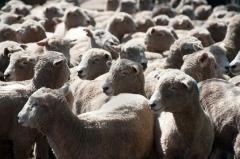 Exportación de carne ovina a EEUU marca importante renglón económico