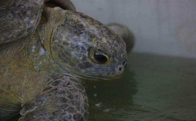 Recuperan especie de tortuga considerada extinta hace 150 años