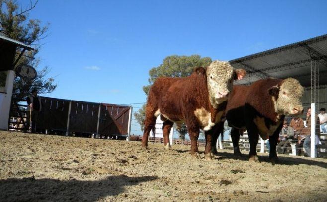 Los toros de Kiyú, un clásico de la zafra de reproductores. www.hereford.com.uy