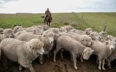 El stock ovino creció en 109.346 cabezas