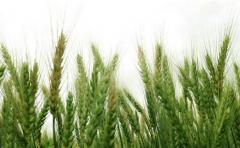 Trigo: clima afecta potencial de rendimiento