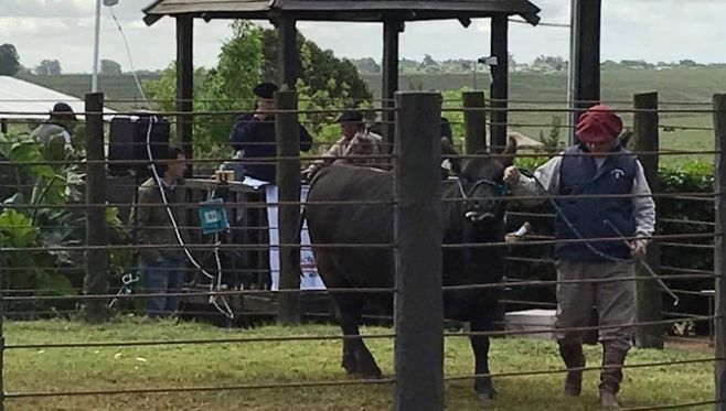 Angus Más: séptimo remate tuvo 100% de colocación, y los toros promediaron 3.200 dólares