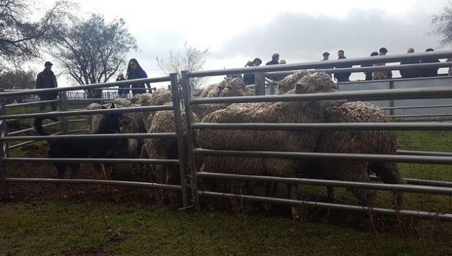Intendencia de Canelones aporta tecnología  a productores ovinos