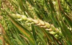 Agricultores intentan minimizar caída de rendimientos en trigo y cebada