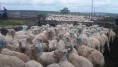 Firme pero seguro: EEUU abre sus puertas a la carne ovina uruguaya