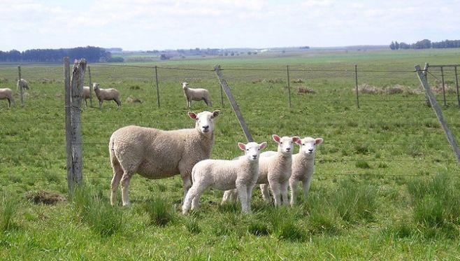 Firme pero seguro: EEUU abre sus puertas a la carne ovina uruguaya. @JorgeBonino