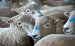 Uruguay envió primer embarque de 11 toneladas de carne ovina con hueso a EEUU
