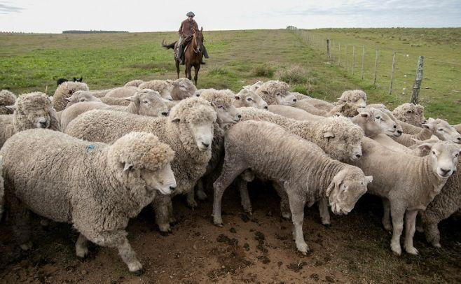 Condiciones favorables para que aumente el stock de ovinos