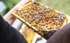 En Uruguay, por año, muere el 30% de las abejas, y en consecuencia hay menos apicultores