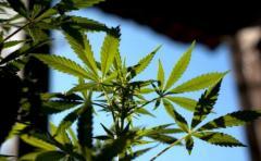 Dos nuevas variedades de cannabis para venta en farmacias