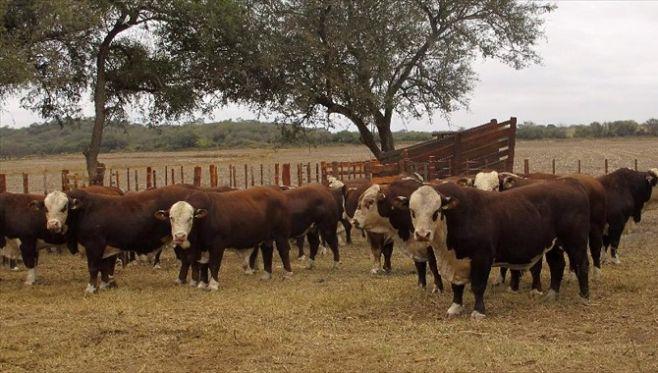 Ganadería: la zafra de toros ratificó más inversión en genética