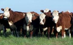 Ganadera Hereford: los terneros promediaron los 2,02 dólares