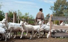 Ovinicultura: Intendencia de Canelones promueve tecnología para productores