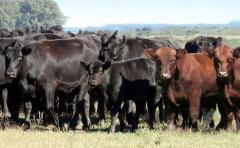 Angus va por más y mejor ganadería: Se crea la Colappa