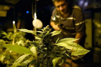 Comienza este mes la venta de fármacos de cannabis en Uruguay