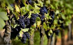 Exportaciones de vino embotellado aumentaron un 48%