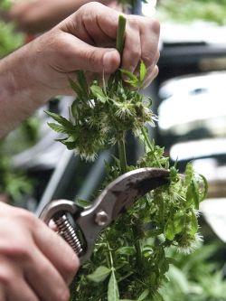 Cosecha de Plantas Cannabis sativa. Ilustración. . Javier Calvelo / adhocFotos