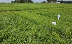 Seguro de resiembra, una herramienta para cuidar inversión en pasturas