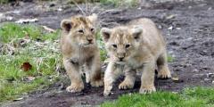 Zoo sueco admite haber sacrificado 9 cachorros de león por falta de espacio