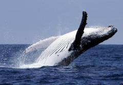 Antártico: 333 ballenas cazadas por barco japonés