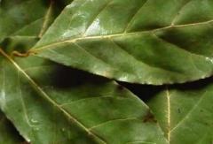 Los graneros prehispánicos acreditan que el laurel fue el primer pesticida