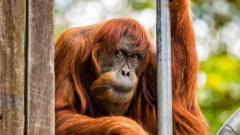 La orangután más vieja del mundo muere en Australia a los 62 años